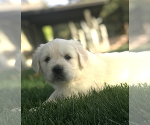 Golden Retriever Puppy for Sale in MODESTO, California USA