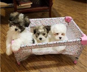 Coton de Tulear Puppy for sale in LEBANON, TN, USA
