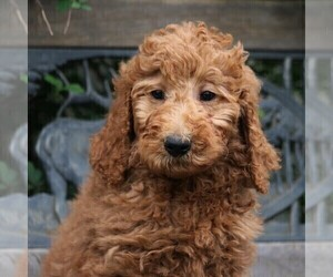 Poodle (Standard) Puppy for sale in EAST EARL, PA, USA