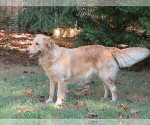 Mother of the Golden Retriever puppies born on 10/30/2019