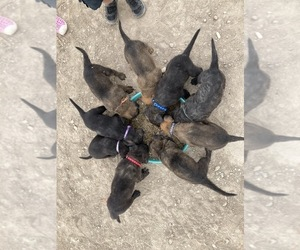 Dutch Shepherd Dog Puppy for Sale in GUNNISON, Utah USA