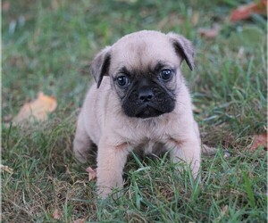 Puggle Puppy for sale in FREDERICKSBG, OH, USA