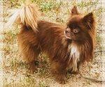 Chihuahua Dog For Adoption near 91915, Chula Vista, CA, USA