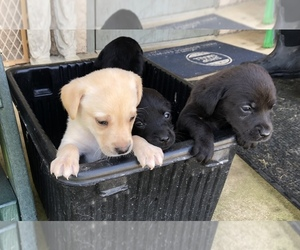 Labrador Retriever Puppy for sale in SPRINGFIELD, TN, USA