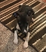 Italian Greyhound Puppy For Sale in FRANKFORT, IN, USA