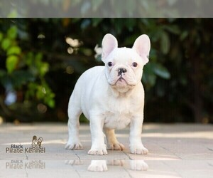 French Bulldog Puppy for sale in Szeged, Csongrad, Hungary