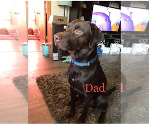 Father of the Labrador Retriever puppies born on 12/11/2020