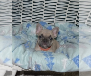 French Bulldog Puppy for Sale in PALMYRA, Virginia USA