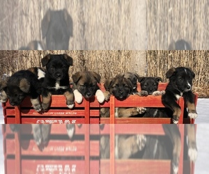 Australian Shepherd-Norwegian Elkhound Mix Dog for Adoption in CHESTERFIELD, Michigan USA