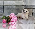 Small #5 Poodle (Miniature)-Saint Bernard Mix