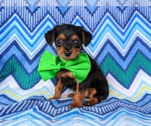 Yorkie-Poo Puppy for sale in NOTTINGHAM, PA, USA