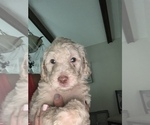 Small Photo #14 Poodle (Standard) Puppy For Sale in TAMPA, FL, USA