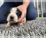 Puppy 3 Coonhound