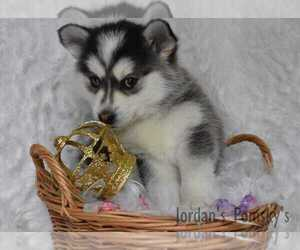 Pomsky Puppy for Sale in SALEM, Ohio USA
