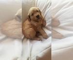 Small Golden Retriever