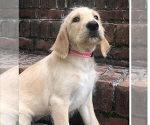 Labradoodle Puppy for sale in CLINTON, TN, USA