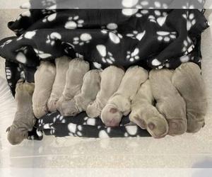 French Bulldog Dog for Adoption in PALM BCH GDNS, Florida USA