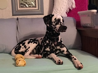 View Ad Dalmatian Puppy For Sale Near Missouri Galena Usa Adn 12405