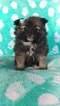 Pomeranian Puppy For Sale in COLERAIN, PA, USA