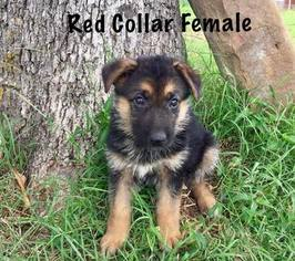 German Shepherd Dog Puppy For Sale in TERLTON, OK, USA