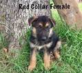 German Shepherd Dog Puppy For Sale in TERLTON, OK, USA