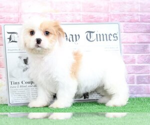 Cavachon Puppy for sale in BEL AIR, MD, USA