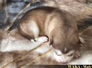 Alaskan Malamute Puppy For Sale in NORTH LEWISBURG, OH