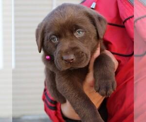 Labrador Retriever Puppy for sale in EPHRATA, PA, USA