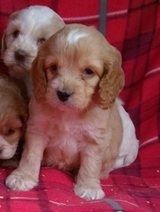 CHRISTMAS cavapoo puppies males females available