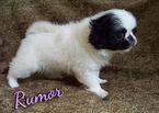 Japanese Chin Puppy For Sale in LYNCHBURG, VA, USA