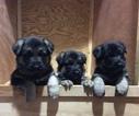 German Shepherd Dog Puppy For Sale in KENNEBUNK, ME, USA