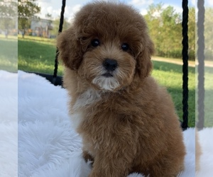 Poodle (Toy) Puppy for sale in HOUSTON, TX, USA