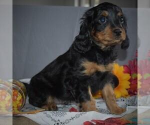 Cavapoo Puppy for sale in SUNBURY, PA, USA