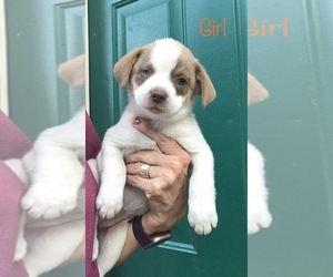 Parson Russell Terrier-Pom-Shi Mix Dog for Adoption in RICHMOND, Michigan USA