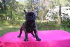 French Bulldog Puppy For Sale in HASTINGS, FL