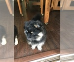 Small Photo #7 Pomsky Puppy For Sale in SUBLIMITY, OR, USA