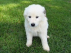 Great Pyrenees Puppy For Sale in BEALETON, VA, USA