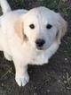 Golden Retriever Puppy For Sale in REXBURG, ID