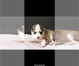 Siberian Husky Puppy for sale in HAMPTON, VA, USA