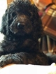 Labradoodle Puppy For Sale in NEW HAVEN, CT, USA