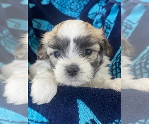 Mal-Shi-Maltese Mix Puppy for Sale in HASTINGS, Michigan USA