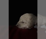 Small #28 Goldendoodle-Poodle (Standard) Mix