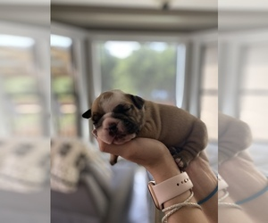 English Bulldogge Puppy for sale in LOUISVILLE, KS, USA
