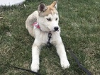 Siberian Husky Puppy For Sale in MILLERSBURG, IN, USA