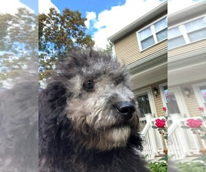 Goldendoodle (Miniature) Puppy for sale in IPSWICH, MA, USA