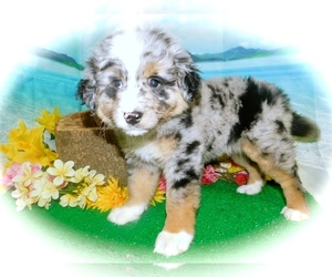 Border-Aussie Puppy for sale in HAMMOND, IN, USA