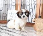 Tucker Male Teddy Bear Puppy