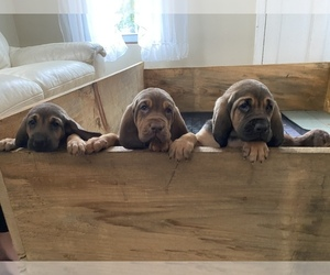 Bloodhound Puppy for sale in BYFIELD, MA, USA