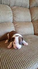 Olde English Bulldogge Puppy For Sale in EAST PALESTINE, OH
