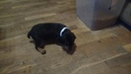 Doberman Pinscher Puppy For Sale in SAGINAW, MI